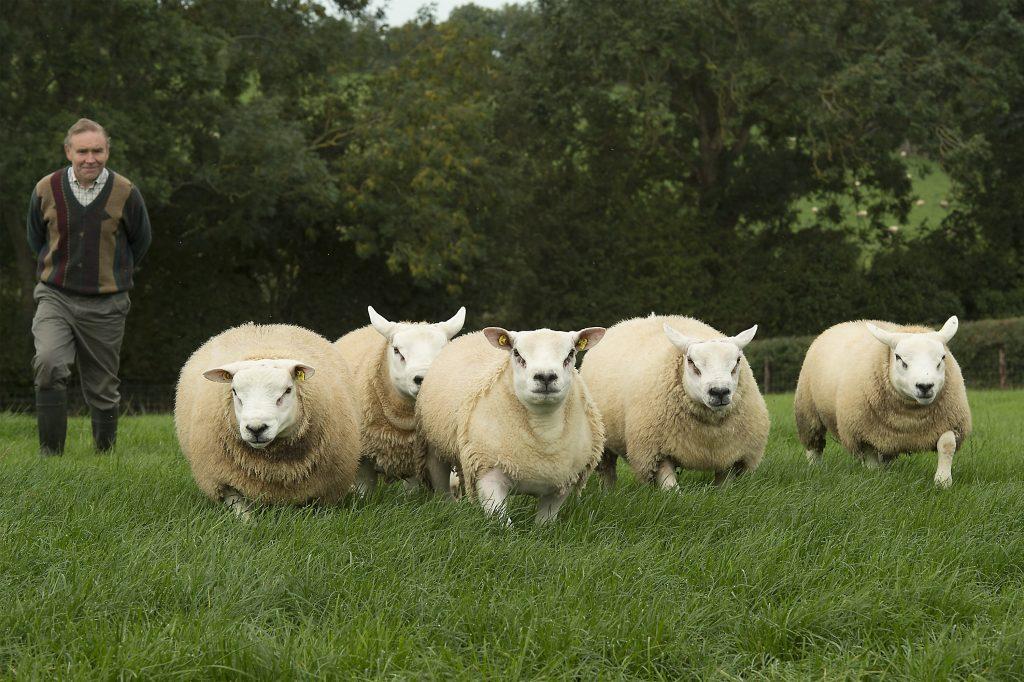 Desafios na criação de ovinos