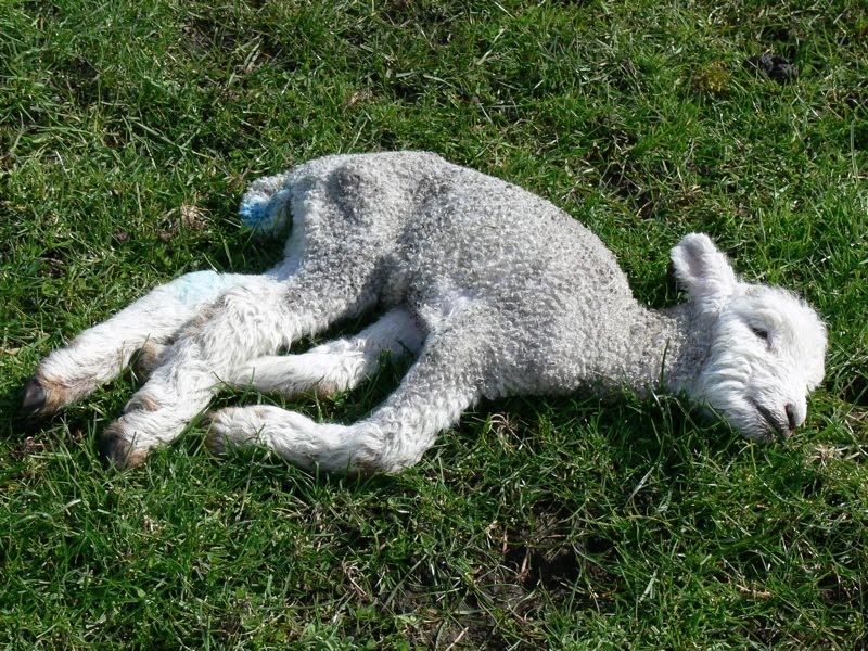 verminose em cordeiros causa mortes