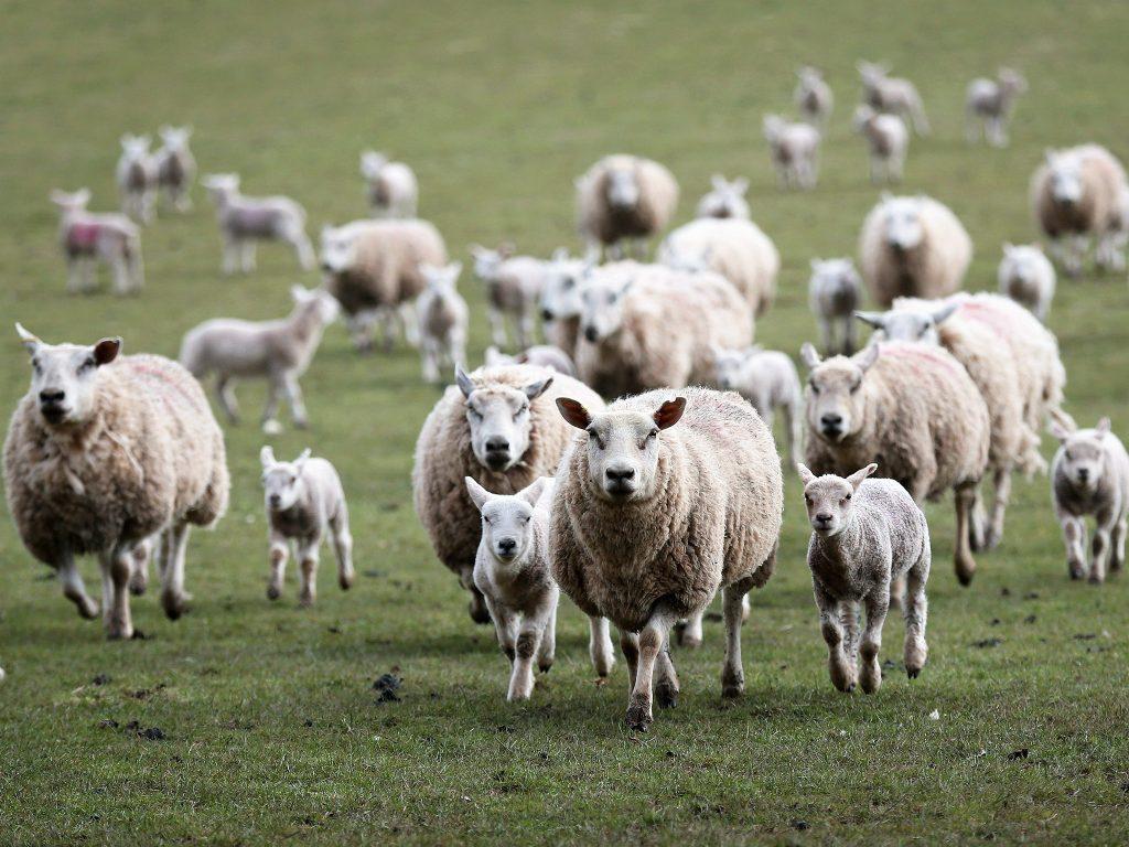 Ovinocultura e seus desafios