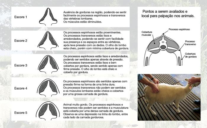 Escore de condição corporal em ovinos